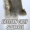 Image of an Eastern Grey Squirrel