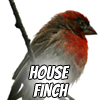Image of a house finch