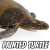 Image of a painted turtle