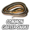Image of a common garter snake