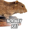 Image of a norway rat