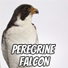 Image of a peregrine falcon