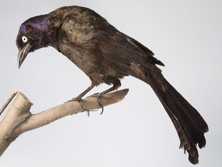 Image of a Common Grackle, mounted perched on a branch and seen in profile with its head to the left.