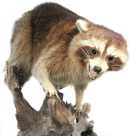 Image of a raccoon, mounted with its four feet on the trunk of a tree, displaying aggression.