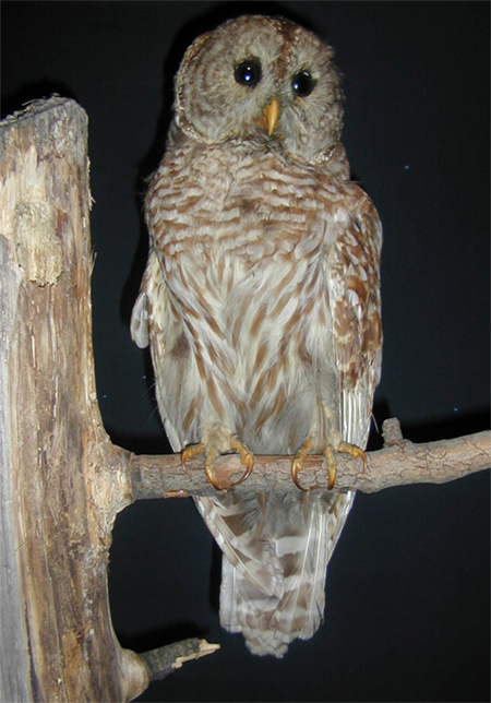 Image of a Barred Owl, mounted on a branch, seen from the front.