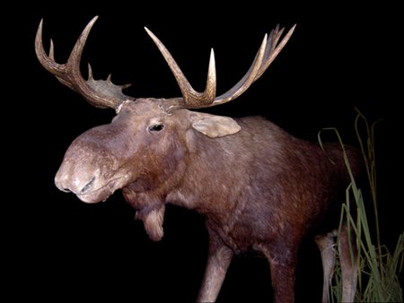 Image of a moose, mounted and seen from a front three-quarter view with its head to the left, with grass to its right.