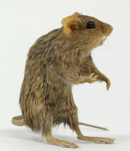 Image of a House Mouse, mounted upright on its hind feet and seen in profile with its head to the right.