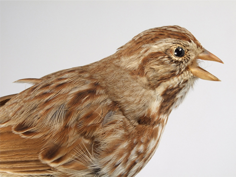 Image of a Song Sparrow, mounted and seen close up and from an angle with its head to the right.