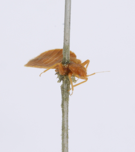 Image of a bedbug, dried and mounted, seen from an angle with its head to the right and its legs hanging down.