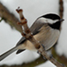 Photo of a close-up of a Black-Capped Chickadee perched on a branch.