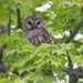 Photo of a Barred Owl on a branch seen through the green leaves of a maple tree, frontal  view.