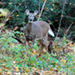 Photo of a White-Tailed Deer in a wooded area, frontal  view.