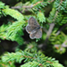 Photo of a Bog Copper Butterfly sitting on an evergreen branch, seen from above.