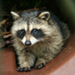 Photo of a raccoon lying in a pipe, with its front paws stretched out.