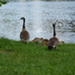 Photo of Canada Geese and their goslings near a body of water.