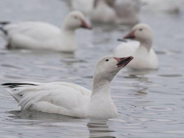 Photo of several Snow Geese on water.