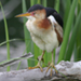 Photo of a close-up of a Least Bittern on a branch, side view, head turned to the left.