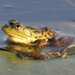 Photo of a bullfrog at rest on vegetation in the water.