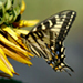 Photo of a side view of an Oregon Swallowtail Butterfly on flower petals.