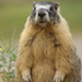 Photo of a frontal view of a Yellow-Bellied Marmot standing on lookout, front paws stretched out on its stomach.