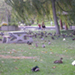 Photo of Mallard Ducks on grass in a park, picnic table, tree, and people strolling.